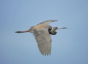 Tri-colored Heron, ad br, FL, May.jpg