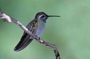 Blue-throated Hummingbird male.jpg