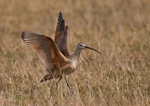 Long-billed Curlew, wing raise, FL, Jan.