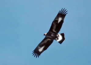 Golden Eagle, juvenile 2, NJ, Nov.jpg