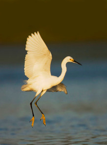 Snowy Egret feeding dance, NY, Aug.jpg