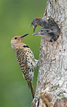 N Flicker nest July.jpg