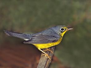 Canada Warbler, fall imm male, NJ, Aug.j