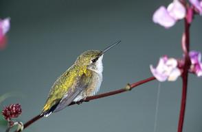 Ruby-th Hummingbird imm aug NJ.jpg