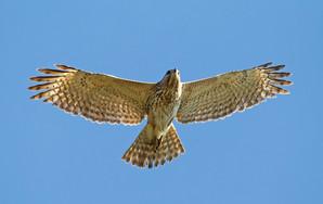 Red-shouldered Hawk juv, FL, Jan.jpg