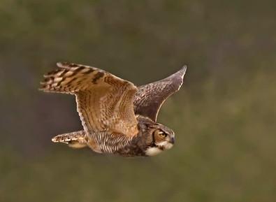 Great Horned Owl flight, Feb, FL.jpg