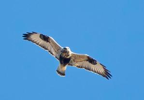 Rough-legged Hawk, female, Oct 30, Cape