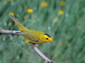 Wilson's Warbler adult male.jpg