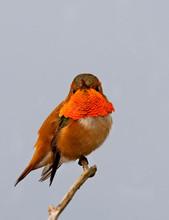 Rufous Hummingbird, male, AK, May croppe