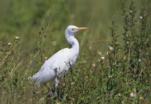 Cattle Egret, juv, FL, Jan.tif