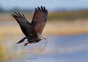 Snail Kite, immature, with nest material
