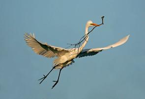 Great Egret w nest material 2.jpg