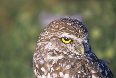 Burrowing Owl, Apr, FL.jpg