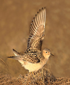 Buff-breasted Sandpiper for HMH cover.jp