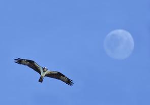 Osprey and full moon digitized, NJ, Sept