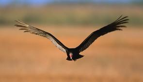 Turkey Vulture adult flight Fla..jpg