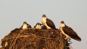 Osprey nest w 3 young, NJ, Aug 2011.jpg