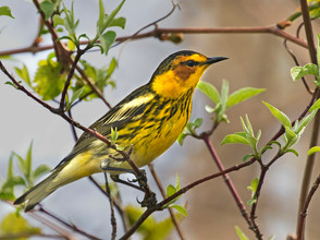 Cape May Warbler 2, male, Ohio, May.jpg
