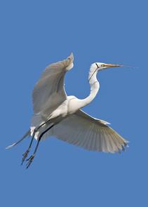 Great Egret w nest material.jpg