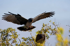 Snail Kite male approach, FL, Jan.jpg