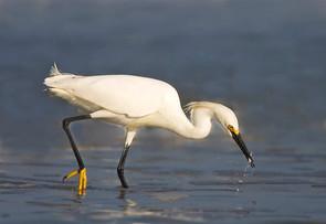 Snowy Egret w fish.jpg