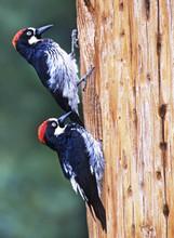 Acorn Woodpeckers, males, AZ, Aug.jpg