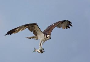 Osprey w fish, TX, Nov.jpg