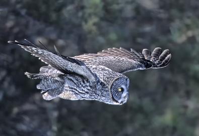 Great Gray Owl flight, Feb smaller.tif