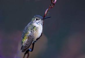 Calliope Hummingbird, imm male, Dec, NY.