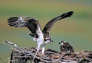 Osprey juv wingstretch NJ aug.jpg
