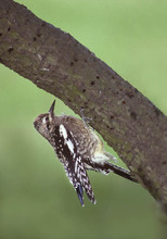 Yellow-bellied Sapsucker, juvenile, NY,