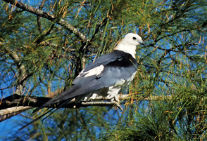 Swallow-tailed Kite, ad perched, FL, Ap.