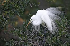 Great Egret breeding display, large.jpg