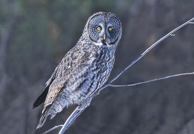 Great Gray Owl, February.tif