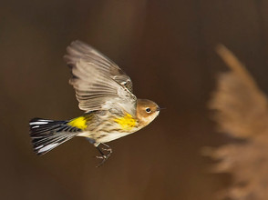 Yellow-rumped Warbler flight, Cape May P