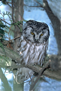 Boreal Owl, Feb Can.jpg