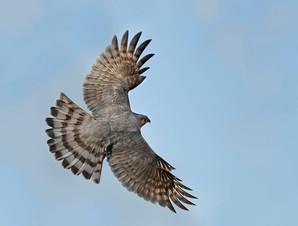 Sharp-shinned Hawk, adult dorsal, NJ, Oc