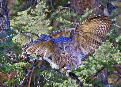 Great Gray Owl, Yellowstone, Sep copy.jp