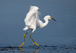 Snowy Egret flight fishing .jpg