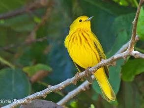 Yellow Warbler, St Kitts, Feb, 2017.jpg