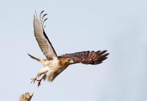 Red-tailed Hawk, adult, Nov, NJ.jpg