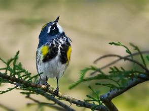 Yellow-rumped Warbler, breeding, TX, Apr