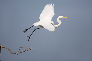 Great Egret sequence, 4, TX, April.jpg
