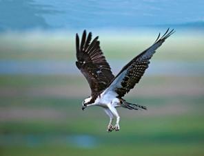 Osprey flight, N Wildwood NJ, July.jpg