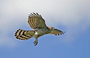 Cooper's Hawk, juv, NJ, October.jpg