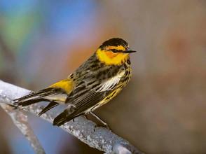 Cape May Warbler, male breeding - Copy.j