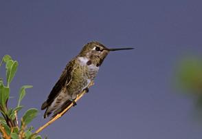 Anna's Hummingbird, imm male, Aug, AZ.jp