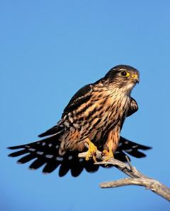 Merlin, adult male by Kevin Karlson.jpg