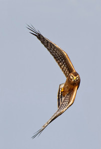 Northern Harrier, immature male