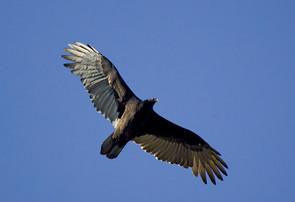 Turkey Vulture, juvenile flight.jpg